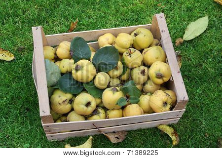 Homegrown Apple Quinces In A Crate, Harvesting Time