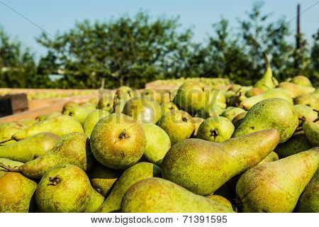 Crates With Picked Pears In The Orchard