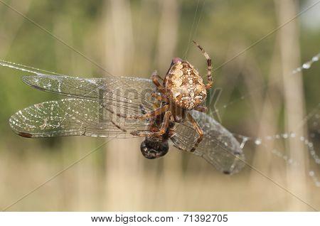 Spider Caught Dragonflies