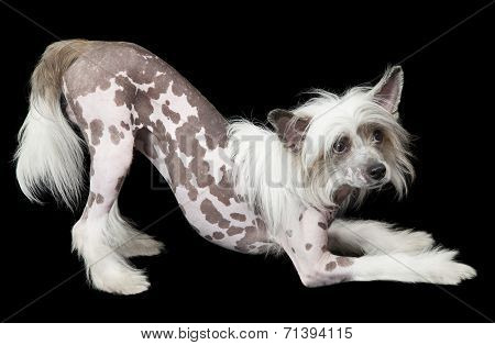 Hairless Chinese Crested Dog In Front Of Black Background
