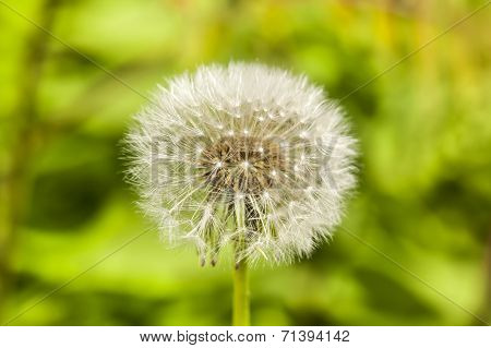 Dandelion On Green Grass Background