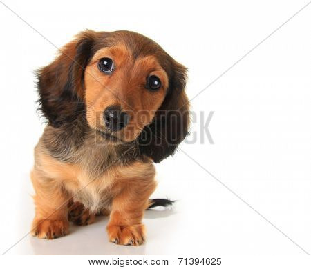 Longhair dachshund puppy studio isolated on white.