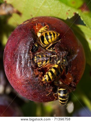 Wasps In A Plum