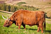 pic of hirsutes  - Highland angus cow grazing green grass on a farm grassland - JPG