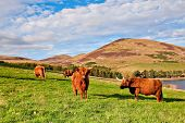 picture of hirsutes  - Highland angus cow grazing green grass on a farm grassland - JPG