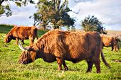 image of highland-cattle  - Highland angus cow grazing green grass on a farm grassland - JPG