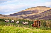 stock photo of hirsutes  - Highland angus cow grazing green grass on a farm grassland - JPG