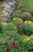 picture of stonewalled  - Rows of colorful budding Hardy Mums in pots set near old stonewall of rural country home.