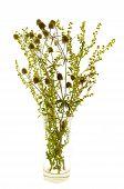 image of sagebrush  - bunch grasses and sagebrush thistle isolate on white - JPG