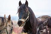 foto of horses eating  - beautiful closeup Horses are eating a hay - JPG