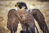 pic of falcons  - beak - JPG