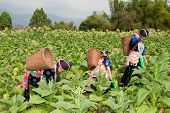 stock photo of hmong  - Hmong of Asia harvest tobacco women in national costume and butt in the field - JPG