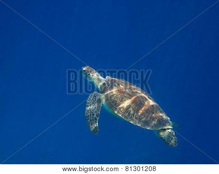 sea turtle swims