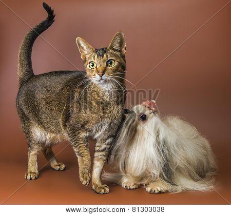Cat And Bolonka Zwetna In Studio