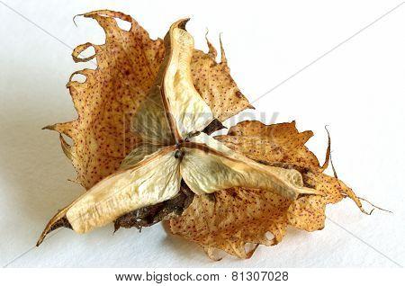 Cotton seed (outside, shell)