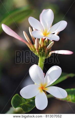 Plumeria flowers & buds