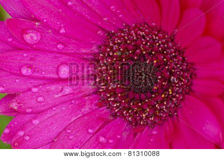Closeup image of a pink daisy flower covered with rain drops