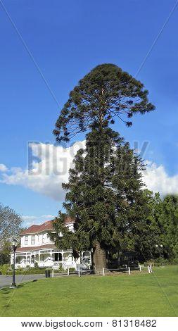 Australian Bunya-Bunya Pine Tree