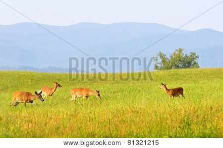 Wild deer at Cades Cove valley