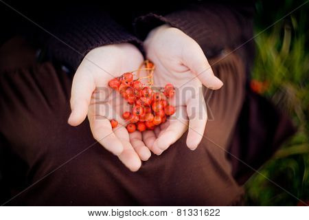 Rowan berries in hands