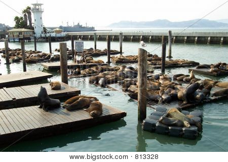 pier39 sea lions on break