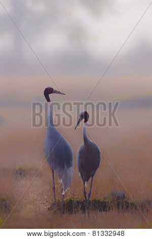 couple of sarus cranes in Nepal