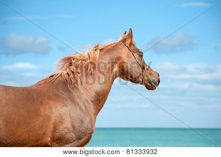 Beautiful portrait of a red Arab stallion who looks into the distance on a background of sea