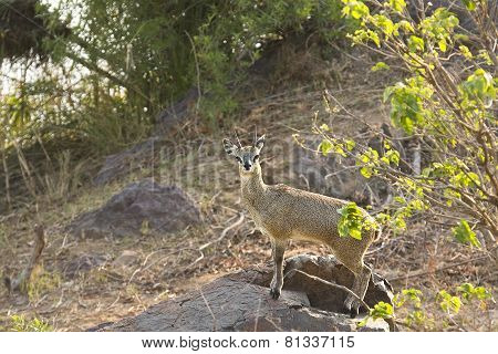 Wild klipspringer lying down on a rock, Kruger, South Africa