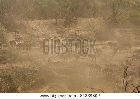 herd of buffalo in the dusty savannah