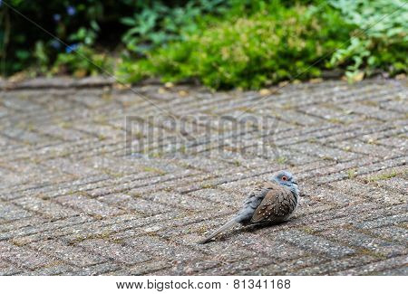 Little Pigeon Landed On The Garden Terrace