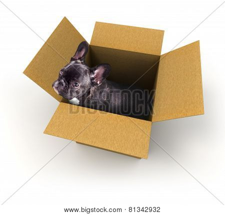 French Bulldog Puppy In A Box