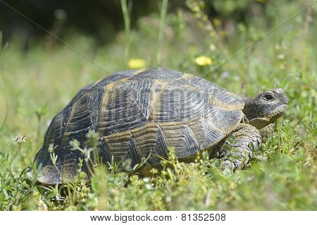 The Spur-thighed Tortoise Or Greek Tortoise (testudo Graeca) In Natural Habitat, National Park Macin