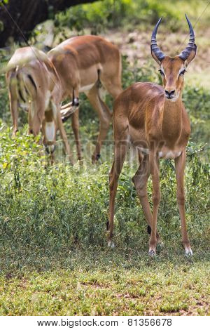 A Herd Of Male Impala, Aepyceros Melampus, Standing In The Vegetation In Serengeti National Park, Ta