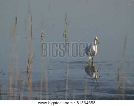 White Heron Wading