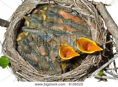 Nest Of Thrush