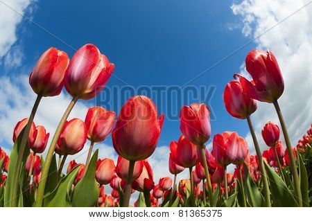 Tulip field close-up