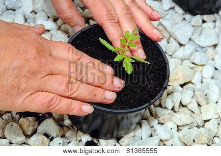 Planting tomato seedlings.
