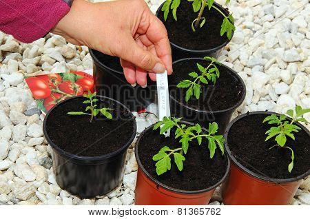 Planting Tomato seedings.