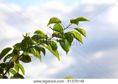 branch green unripe apricot leaves blue sky natural background