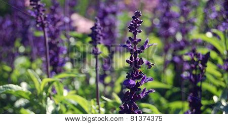 Violet Growing Sage - Toned Image. Autumn Flowerbed.