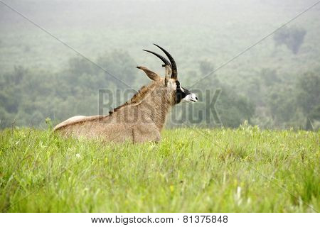 Roan Antelope Lying Down on the Hills of Nyika Plateau, Malawi, Africa