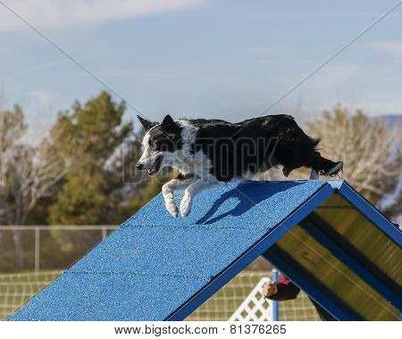 Dog going over A Frame