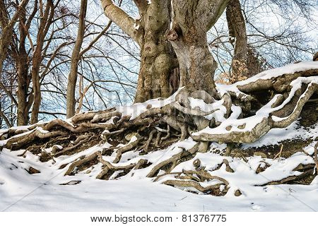 Big With Roots In Winter With Snow