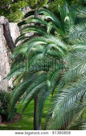 Palm trees in Palma de Mallorca