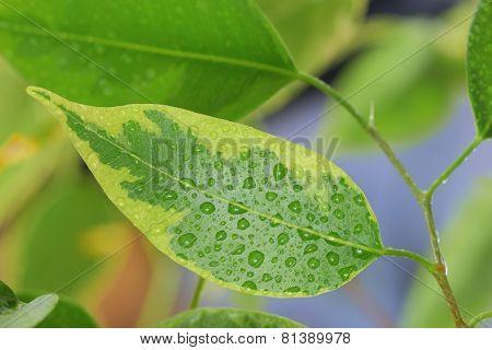 Macro Fresh Leaves with Water drops