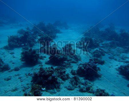 single coral