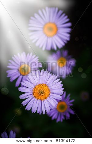 Beautiful Blooming Purple Daisy