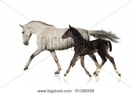 Mare with foal isolated on white
