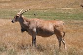 foto of eland  - A Virginia Animal Safari park Eland with horns - JPG