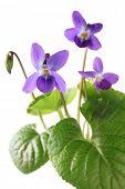 picture of viola  - sweet violet - JPG